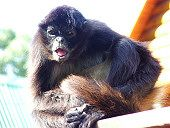 Monkeyland: Monkeyland is the world's first free roaming multi-specie primate sanctuary.Visitors to Monkeyland are taken on foot on monkey safaris in indigenous forest by game rangers. Knysna, Primates, Ranger, Monkey, Safari, Game, Holiday, Animals, Jumpsuit