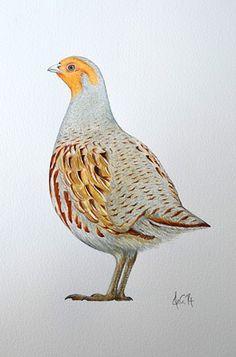 A watercolour drawing of a grey partridge by Ele Grafton