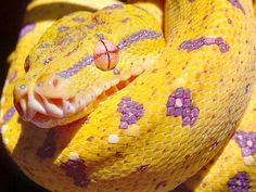 Most Beautiful Snake | is this the most beautiful snake ever - Page 3 - Reptile Forums