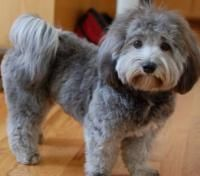 Havanese haircut, if you're going to cut a Havanese this is a cute style for them. Description from pinterest.com. I searched for this on bing.com/images