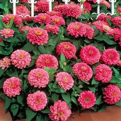 Enjoy the elegance of these 4-inch Dahlia-form flowers of brightest pink.