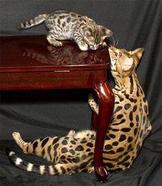Drinkwater Bengal and Savannah Cats