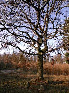 Skovløberegen i vejkrydset mellem Skelvej, Møllerensvej og Nødebostien. Foto: Flemming Rune, november 2009