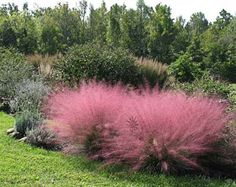 "Muhlenbergia capillaris ""Pink Muhly Grass"" - Sun -     Renowned for its heat, humidity, drought, poorly drained clay & sand tolerance & deer resistance, this fantastic thing bursts into a 3' x 3' cotton candy cloud of shimmery little pink flowers from September to December. Just imagine a grouping of 3 or more of these along your driveway or parking strip. If you care to know about the foliage, it's a pleasant low mound of finely textured leaves. Semi-deciduous in Winter."