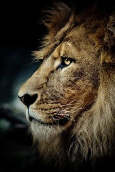Stunning Lion -The lighting enhances the beautiful mane of this ferocious feline.