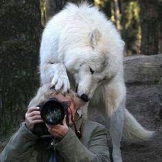 20 Proofs that Wildlife Photography Is One Of The Most Pleasant Works In The World: NeoTempo adorables funny graciosos hermosos salvajes tatuajes animales Wolf Love, Animals And Pets, Funny Animals, Cute Animals, Wild Animals, Artic Animals, Baby Animals, Wolf Spirit, Spirit Animal