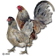 - Ameraucana Bantam Chicks | | Chicks and Game Birds from Stromberg's |