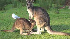kangaroo breastfeeding baby - YouTube