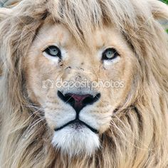 Close up portrait of a white lion male animal.
