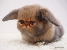 looks like a flat face cat and a bunny together. not a clue what kind of animal it really is.