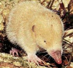 """""""The mole-like rice tenrec (Oryzorictes hova), also known as the fossorial tenrec or hova rice tenrec, is a species of mammal in the Tenrecidae family. It is endemic to Madagascar."""" """"Often met as albino."""" (I think the one in this photo is an albino?)"""