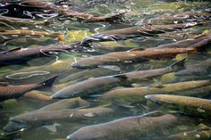 Salmon Are Dying In The Salmon River Because The Water's Too Warm
