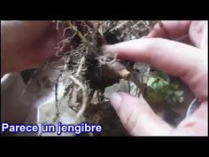 Alocasia Amazonica - Mirando al suelo - YouTube Tutorials, Gardening, Youtube, Amazons, Flooring, Lawn And Garden, Youtubers, Youtube Movies, Horticulture