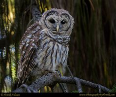 Young Barred Owl by Henrik Nilsson, via 500px