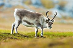 svalbard reindeer Photo Credit: David J Slater
