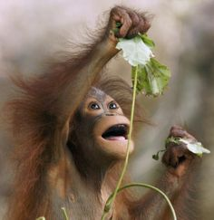 Natural charm: Photographer Hiroya Minakuchi said he originally set out to document the orangutans' facial expressions but was struck by the...