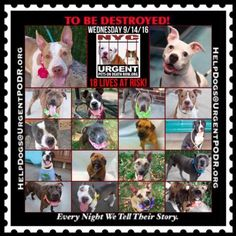 """18 BEAUTIFUL LIVES TO BE DESTROYED 09/14/16   @ NYC ACC. ***SO MANY DOGS HAVE BEEN KILLED LATELY*** This is a HIGH KILL """"CARE CENTER"""".  Please Share:  To…"""