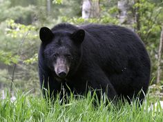 Bow has 2 new cubs this year,they must be hiding June 13 Ely Minn. We Bear, Bear Cubs, Hey Boo Boo, American Black Bear, Bear Paintings, Wild Animals Photos, Bear Hunting, Brother Bear, Arizona Usa
