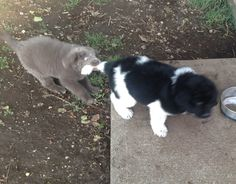 Grey and Landseer Newfoundland puppies playing.