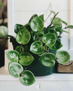 Indoor Garden, Garden Plants, Indoor Plants, Bonsai, Plant Aesthetic, Pot Plante, Plants Are Friends, Design Floral, House Plants Decor