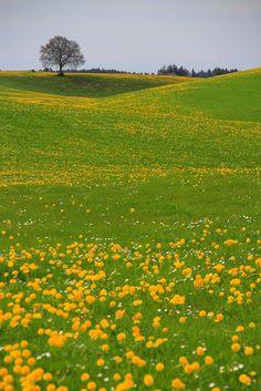 summer fields, Allgäu, Bavaria, Germany