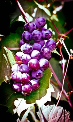 Grapes Fruit Plants, Fruit Garden, Fruit Trees, Trees To Plant, Fresh Fruits And Vegetables, Fruit And Veg, Fruit For Diabetics, Fruit Bearing Trees, Fruit Photography