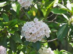 Grown for its showy late spring and summer flowers and attractive, evergreen foliage, mountain laurel Zones 5 -9.   /   Elf is a dwarf  3' tall  pale pink or white blossoms.  /   Heart of Fire deep red buds open to pink flowers w/ dark pink edges  5'  shrub.   /    Raspberry Glow up to 6'  tall. Burgundy buds open to raspberry-pink flowers keep color in shade.  /  Carol  low rounded mound dark green foliage. Buds red & flowers bright white.   /    Snowdrift  white blooms dab of red center 4'