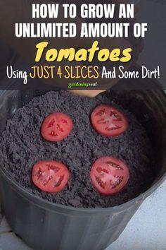Regrow Vegetables, Container Gardening Vegetables, Planting Vegetables, Indoor Vegetable Gardening, Growing Veggies, Growing Tomatoes, Growing Plants, Garden Yard Ideas, Lawn And Garden