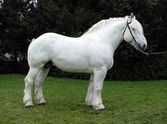 "Boulonnais. The Boulonnais, also known as the ""White Marble Horse"", is a heavy draft horse breed. It is known for its large but elegant appearance and is usually gray, although chestnut and black are also allowed by the French breed registry."