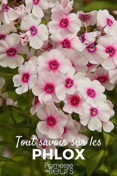Les phlox, paniculata ou subulata, sont des plantes vivaces qui portent des fleurs étoilées blanches, roses, rouges, bleues... Découvrez tous les conseils de nos experts pour réussir leur plantation et leur culture au jardin ! #jardin #jardinage #phlox #vivace