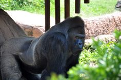Scary Gorilla | The silver back gorilla was a little scary, he sure could stare me ...