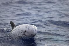 "Moleiro is the Azorean name for the Risso Dolphin, Moleiro means ""miller""  by quarrresma / João Quaresma, via Flickr"