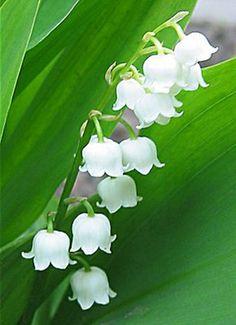 Lelietje der dalen voor het manifesteren van je dromen, bewegingsvrijheid en spontaniteit http://www.krachtuitdenatuur.com/online-bloesemremedies-bestellen/fes-flower-essences/fes-flower-essence-lily-of-the-valley-lelietje-der-dalen