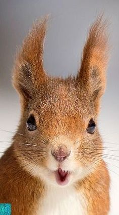 Shocked squirrel, there's an enemy spy in camp! Nature Animals, Animals And Pets, Wild Animals, Beautiful Creatures, Animals Beautiful, Cute Baby Animals, Funny Animals, Cute Squirrel, Squirrels
