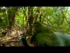 Watch Mark Carwardine being shagged by a kakapo here. | 23 Things You Didn't Know About The Flightless Parrot Facing Extinction