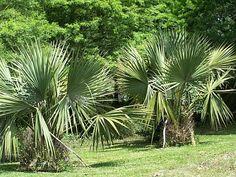 Sabal minor (Bush Palmetto, Dwarf Palmetto, Little Blue Stem, Swamp Palmetto)