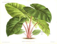 Alocasia - Kris plant - Alocasia Augustiana - Papua New Guinea