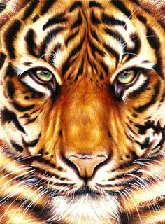 Color Pencil Drawing Ideas Tiger - Amazing Animal Drawings From Great Pencils - Animal Drawings, Pencil Drawings, Art Drawings, Horse Drawings, Art Tigre, Tiger Art, Tiger Drawing, Wow Art, Color Pencil Art
