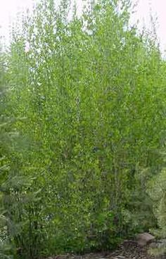 New Mexican Privet (Forestiera neomexicana) Desert Olive Evergreen Trees For Privacy, Trees And Shrubs, Trees To Plant, Backyard Trees, Backyard Privacy, Privacy Plants, Privacy Screens, Arizona Landscaping, Landscaping Ideas