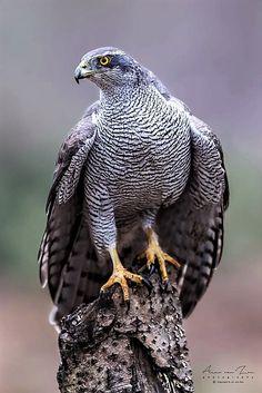 Queen of the forest (adult female) Northern Goshawk Pretty Birds, Beautiful Birds, Animals Beautiful, Cute Animals, Northern Goshawk, Eagle Pictures, Photo Animaliere, Big Bird, Colorful Birds