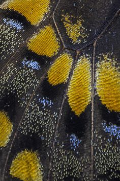 Close-up of Black Swallowtail Butterfly wing Photograph by: Darrell Gulin