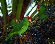 #52 Red-crowned Amazon by bsmity13, via Flickr