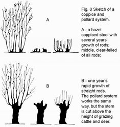 Coppicing and pollarding are two methods of wood pruning that allows us to continually harvest wood from the same trees while keeping them healthy for centuries. They produce a sustainable supply of timber for many generations while enhancing the natural state for wildlife and native plants.