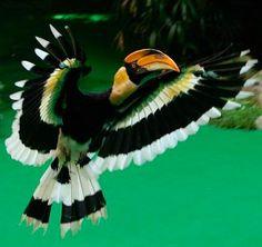 Flying Great hornbill via Bird's Eye View at www.Facebook.com/aBirdsEyeViewForYou