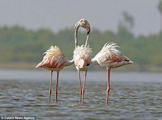 The flamingo fandango: Two heads, check. Three bodies, check. Five legs, check. Let's danc...