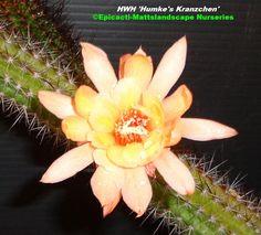 HWH 'Humkes Kränzchen'  See It! Grow It! @ Epicacti.com our large mail order catalog is @ Mattslandscape.com