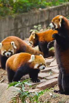 My red panda army ;D