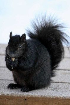 black squirrels - Norton Safe Search