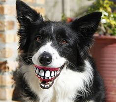 The Rogz Grinz Dog Ball is a very funny treat ball for you best (furry) friend. A treat ball with a funky grid design. what can be better? Your dog will look like a funny Funny Dogs, Cute Dogs, Funny Animals, Cute Animals, Funny Puppies, Silly Dogs, Dog Teeth, Smile Teeth, Dog Toys