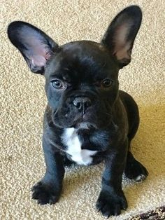 Oliver the French Bulldog Puppy